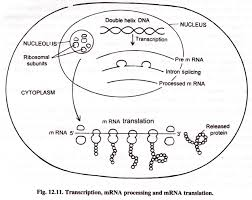 Dna Rna And Protein Synthesis Worksheet Protein Synthesis Translation With Diagram