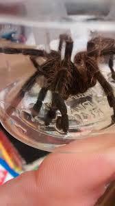shock as huge tarantula found in british hospital nature news