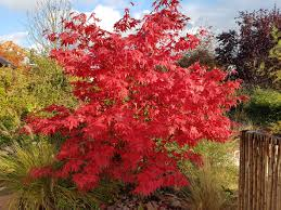 planting a japanese maple tree tips on growing and caring for