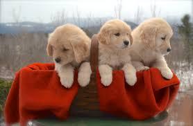 puppy thanksgiving puppies butternut hill golden retrievers
