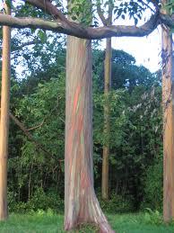 colorful bark of a rainbow eucalyptus tree maui hawaii usa