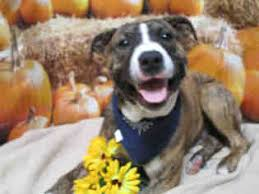 australian shepherd puppies for sale 34655 american bulldog dogs for adoption in new port richey fl usa