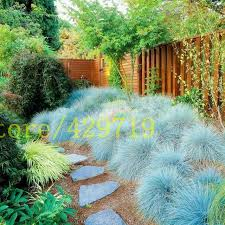 100 pcs blue fescue grass seeds festuca glauca perennial hardy