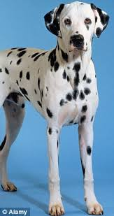 spot difference dalmatians healthy