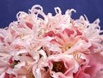 Beautiful pink flowers wallpapers - Muslim Blog muslimblog.co.in