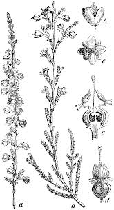 native scottish plants hand drawn set of heather flowers wreaths and decoration elements