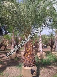 sylvester palm tree sale silver date palm tree for sale in houston buy