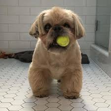 shih tzu with curly hair the top 10 best blogs on shih tzu