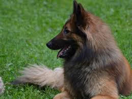 belgian sheepdog groenendael rescue revelry belgian tervuren belgian tervuren puppies for sale