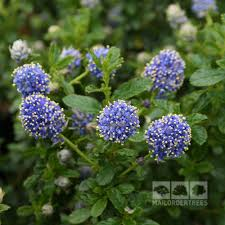 ceanothus blue mound californian lilac u2013 mail order trees