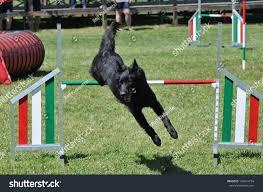 belgian sheepdog trials belgian shepherd groenendael during agility training stock photo