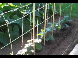 Can Cucumbers Grow Up A Trellis Cucumber Trellis June 2011 0001 Wmv Youtube
