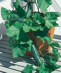 Trellis For Cucumbers In Pots Tips For Growing Cucumbers In Pots Cucumber Gardens And