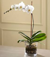 Orchid Plant The Ftd White Orchid Planter