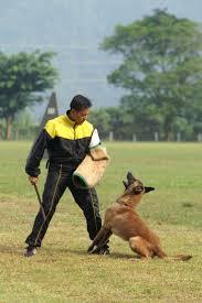 belgian shepherd malaysia ipo3 world championship schutzhund protection dog winner