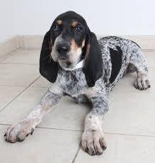 bluetick coonhound weight d j d170709 secondhand hounds