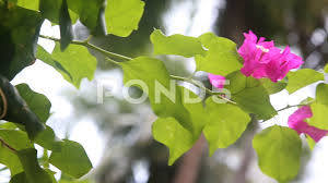 stock video lilac flower in the garden 82064354 pond5