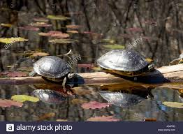 Okefenokee Swamp Map Two Turtles Basking In The Sun On A Log In The Waters Of The Stock