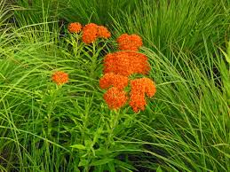 native plants of illinois native plant butterfly weed asclepias tuberosa for the garden