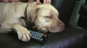 Couch Potato Tv Directv Launches Tv Network For Dogs Video Business News