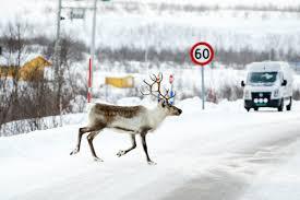 norway to kill 2 000 reindeer to eradicate disease the local