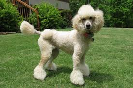standard poodle hair styles how to make poodle puppy cut