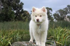 american eskimo dog small free images nature outdoor white meadow play sweet puppy