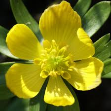 gardenersdream preorder eranthus hyemalis winter aconite