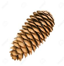 fir tree cone isolated on the white background stock photo