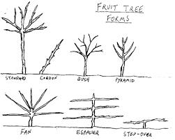 fruit tree forms permawiki fandom powered by wikia