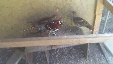 pheasant eggs ebay