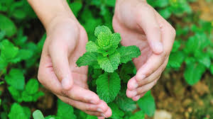 medicinal uses of mint leaves pudina youtube