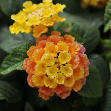 lantana perennials garden plants u0026 flowers the home depot