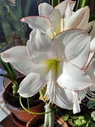 amaryllis flowers growing and caring for amaryllis