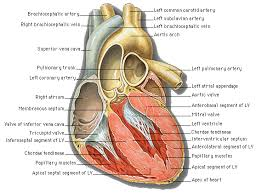 Diagram Heart Anatomy Heart Structure Blamk Diagram Human Anatomy Chart