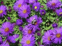 plants native to new jersey asters bring color to autumn garden new jersey herald