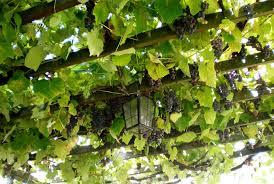 Grape Vine Pergola by 40 Pergola Design Ideas Turn Your Garden Into A Peaceful Refuge