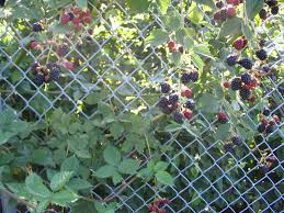 blackberry trellis veggie garden pinterest blackberry