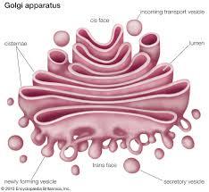 6 cell organelles britannica com