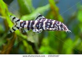 freshwater fish stock images royalty free images vectors