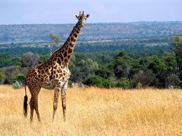 african safari animals amazing african animals the tallest amazing giraffe