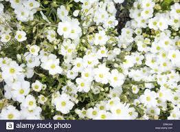 arenaria montana u0027mountain sandwort u0027 alpine or rock garden plant