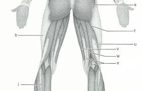 Answer Key For Anatomy And Physiology Lab Manual Exercise 15 Gross Anatomy Of The Muscular System Flashcards