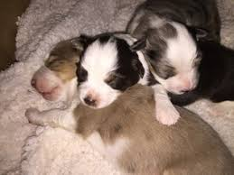 australian shepherd breeders near me view ad australian shepherd puppy for sale california roseville