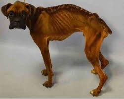 boxer dog las vegas skeletal dog too weak to walk refuses to stop wagging his tail