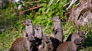 pros of outweigh cons for mongooses science aaas