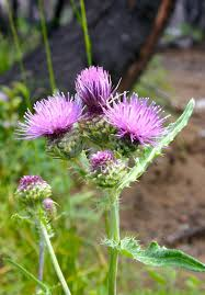 native canadian plants think twice before killing those thistles thistle identification