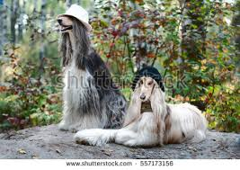 afghan hound hairstyles afghans stock images royalty free images u0026 vectors shutterstock