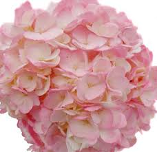 pink hydrangea pink hydrangea perla farms wedding flowers pink