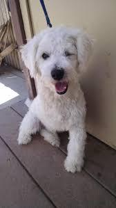 meet trooper a petfinder adoptable poodle dog in pasadena ca